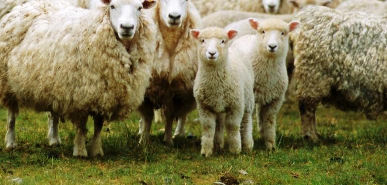 sheep exports